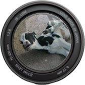 Camera lens focusing a cow